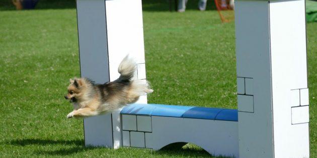 BUZ: Agility (Wendigkeit, Flinkheit) ist eine Hundesportart, die ursprünglich aus England stammt. Grundprinzip ist die fehlerfreie Bewältigung eines Parcours in einer vorgegebenen Zeit. In den 1980er Jahren kam diese Sportart auch nach Deutschland. Weitere Informationen gibt es unter www.bergstraesser-agility-club.de. Foto: oh