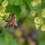 Bienen sind für den Menschen wichtig – daher gilt es sie zu schützen, unter anderem durch blühende Pflanzen. Foto: pixabay.com