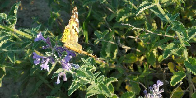 Neben Bienen und weiteren Insekten fühlten sich auch Schmetterlinge in der Naturoase Chausseeallee in Bobstadt heimisch. Foto: Hildegard Schwara