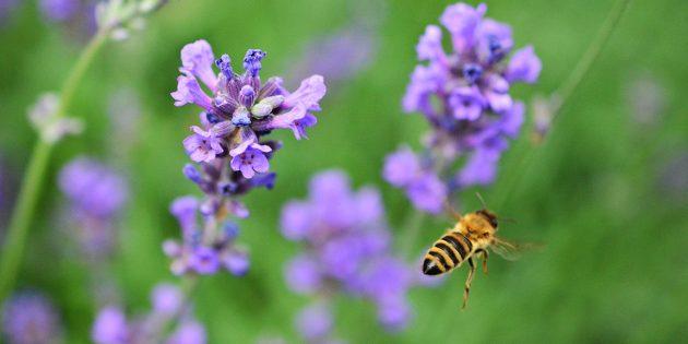 Gärten tragen aktiv zum Klima- und gleichzeitig zum Insektenschutz bei. Lavendel eignet sich hierbei sehr gut, da er anspruchslos in der Pflege ist, aber gleichzeitig optisch ein Hingucker und ein besonderer Bienenmagnet ist. Foto: www.pixabay.com