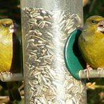 Zwei Grünfinken an einer Futtersäule. In so einer Futterstelle bleibt das Futter trocken und sauber. Foto: Rolf Jürgens/NABU Rheinhessen-Nahe