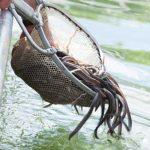 10.000 Jungaale werden im Floßhafen in den Rhein gelassen um den Bestand der heimischen Fischart zu sichern. Foto: Ina Pohl