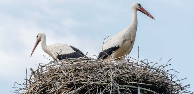 In Rheindürkheim wurden zwei Jungstörche beringt, die Eltern waren gleich wieder im Nest. Foto: Jannik Reinecke/Die Knipser