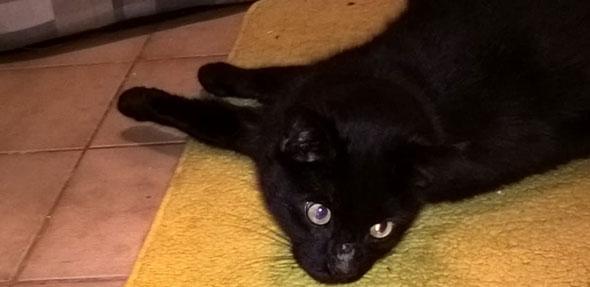 Der schwarze Kater Socke liebt es, mit seinen Besitzern zu schmusen.