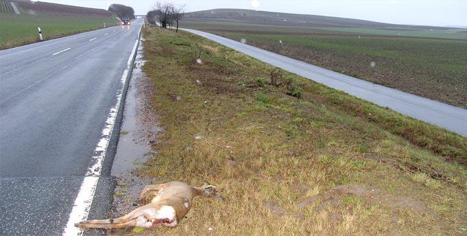 Rehwild kommt am häufigsten unter die Räder. 10.000 Tiere fanden binnen eines Jahres den Tod. Quelle: LJV RLP