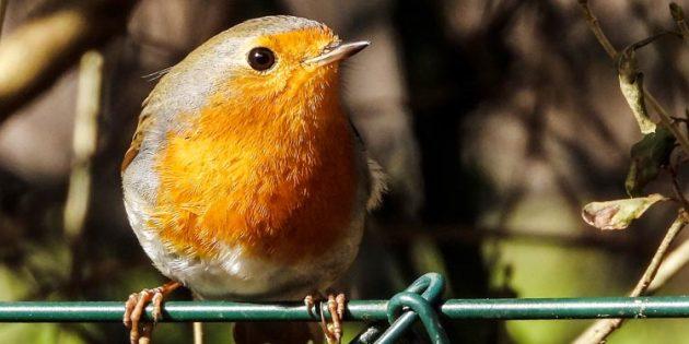 Mit seiner orangen Brust und Kehle ist das Rotkehlchen unverwechselbar. Der Bauch ist hell, Schwanz, Hinterkopf und Rücken sind braun gefärbt. Foto: NABU/Kathy Büscher