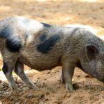 Alle Schweine unterliegen, unabhängig von ihrer Größe, den Vorschriften des Gesetzes zur Vorbeugung und Bekämpfung von Tierseuchen.
